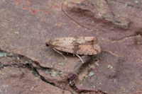 1063 Celypha striana