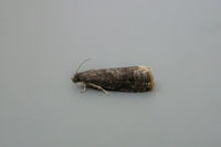 1247 Plum Fruit Moth