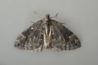 1764 Common Marbled Carpet