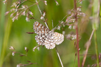 1894 Latticed Heath