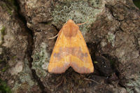 2269 Centre-barred Sallow