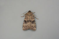 2298 Svenssons Copper Underwing
