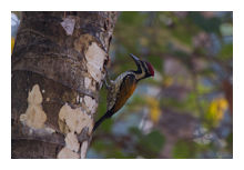 Black-rumped Flameback