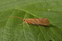 Northern Caddisfly