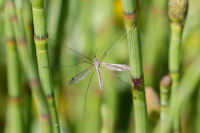 Unknown Crane Fly