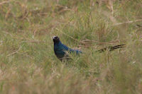 Long-tailed Glossy Starling