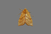 2271 Orange Sallow